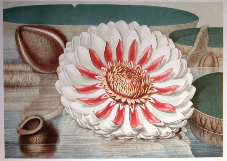 VICTORIA REGIA; or The Great Water Lily of America. John Fisk Allen.